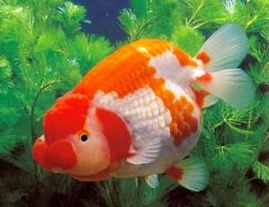 cara merawat ikan
